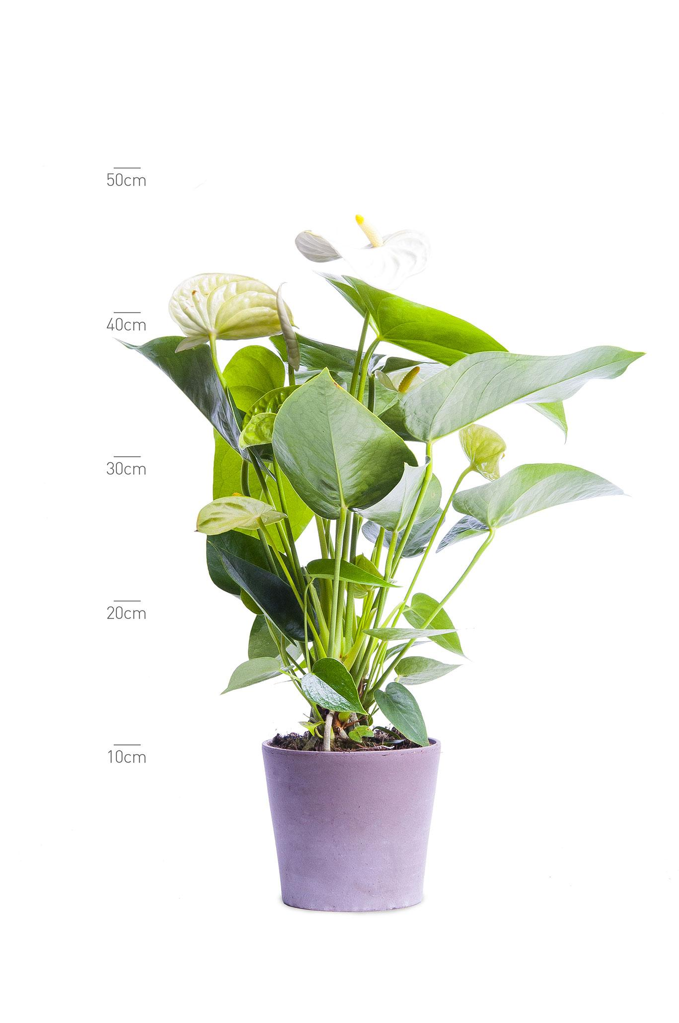 Anthurium Andr. Anthedesia White