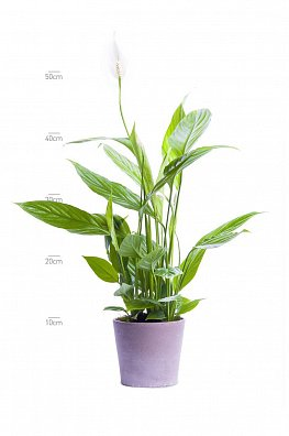 Spathiphyllum Alana