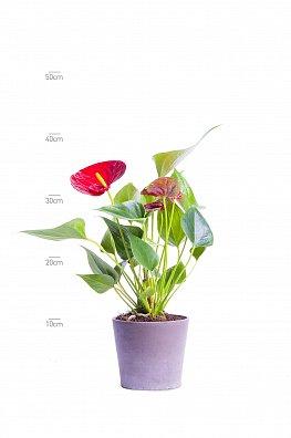Anthurium andr. Almera Rood