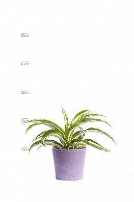 Dracaena fragrans (Jade Jewel)