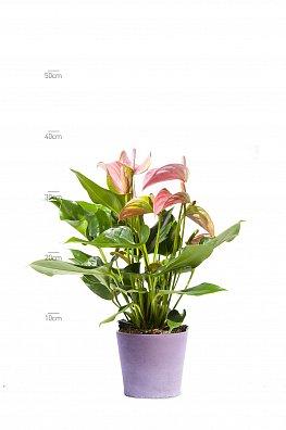 Anthirium Pink